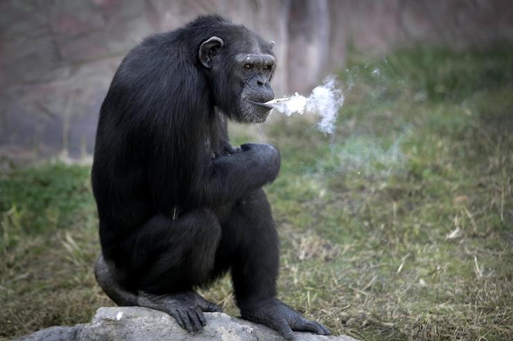 Azalea the Smoking Chimp